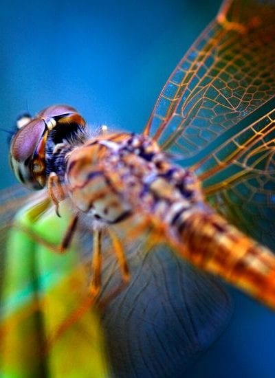 Fun Facts About Dragonflies for Kids