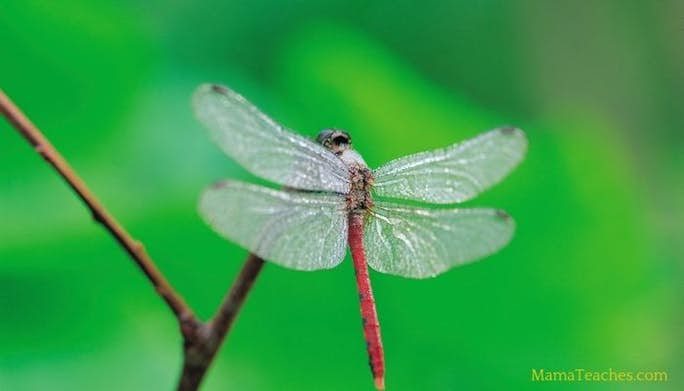 9 Fun Facts About Dragonflies