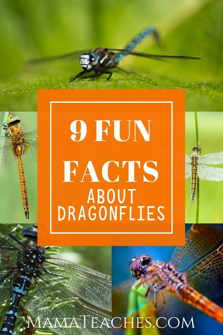 9 Fun Facts for Kids About Dragonflies - MamaTeaches.com