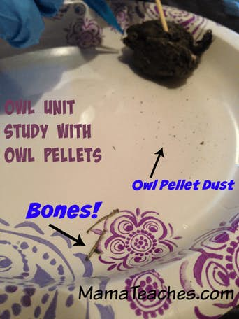 A Homeschool Owl Unit Study with Owl Pellets