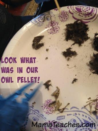 A Homeschool Owl Unit Study with Owl Pellets