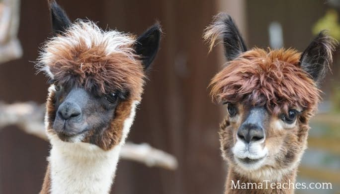 Fun Facts for Kids About Alpacas