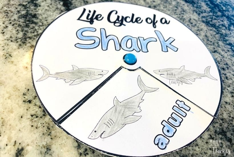 Life Cycle of a Shark Activity Spinner