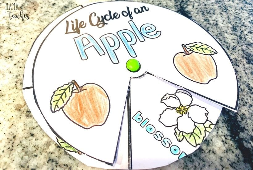 Life Cycle of an Apple Spinner Activity