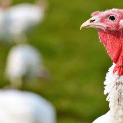 Fun Facts About Turkeys
