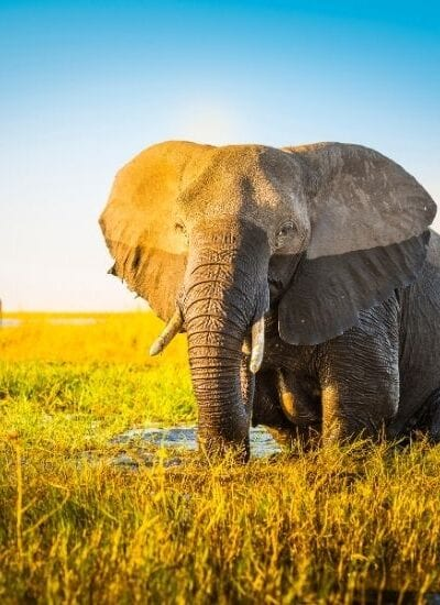 Elephant Fun Facts for Kids