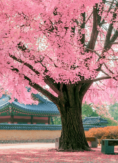 Fun and Interesting Facts about Trees - like the beautiful pink Japanese Maple pictured in this photo