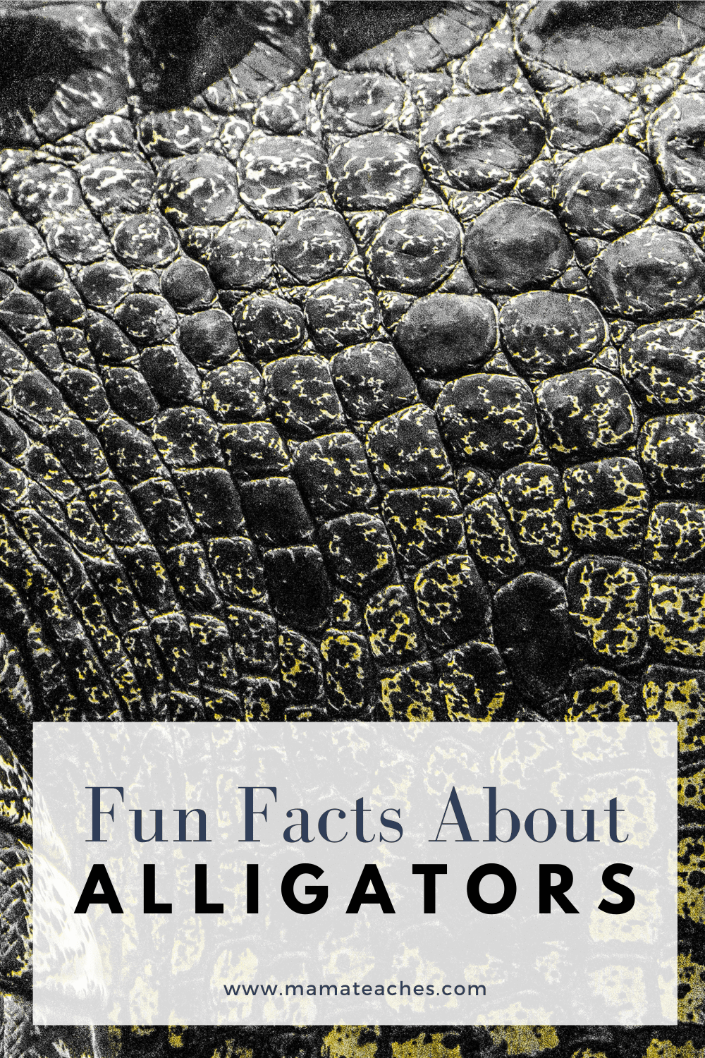 Fun Facts About Alligators