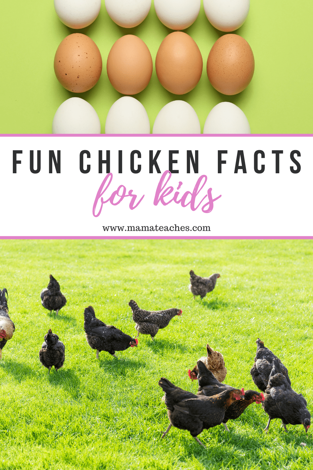 Fun Chicken Facts for Kids