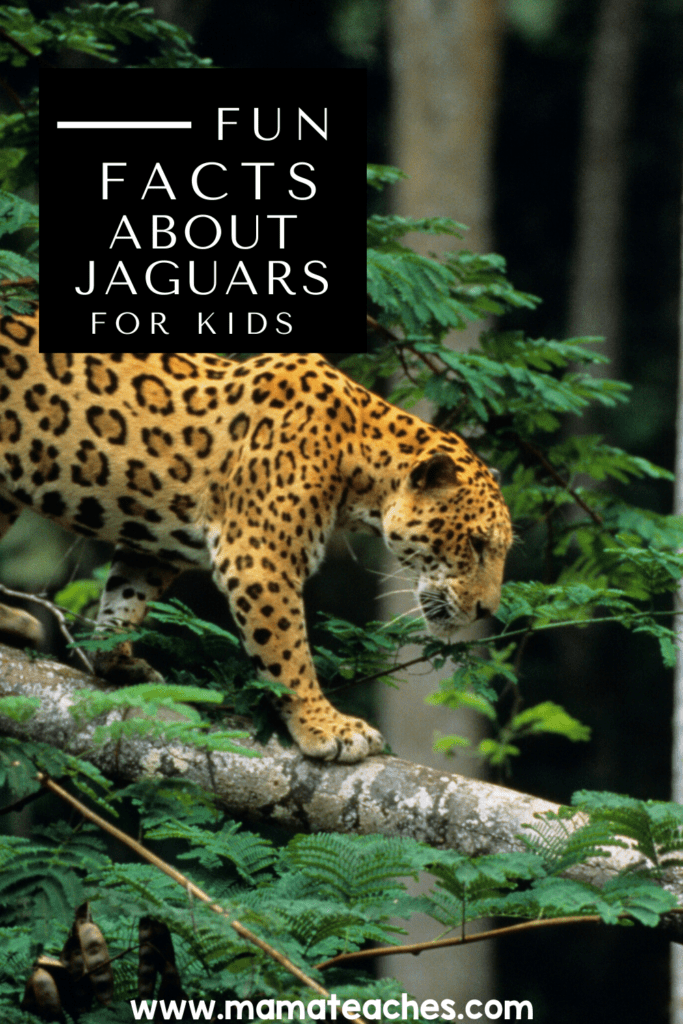 Facts About Jaguars for Kids