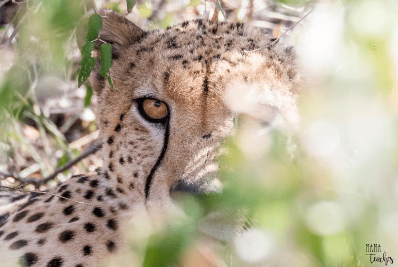 Cheetah Fun Facts